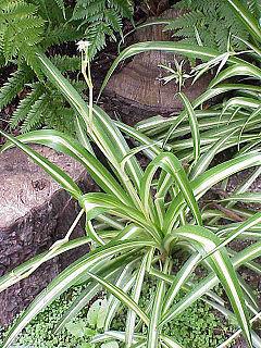 Chlorophytum_comosum Las plantas purifican el aire de nuestro hogar FeelSaludable