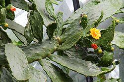 Consolea_falcata Las plantas purifican el aire de nuestro hogar FeelSaludable