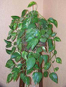 Pothos_epipremnum_aureus Purifica el aire de nuestro hogar gracias a las plantas FeelSaludable