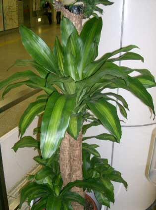 dracaena_fragrans Las plantas purifican el aire de nuestro hogar FeelSaludable